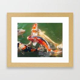 Koi carp in a green pond Framed Art Print