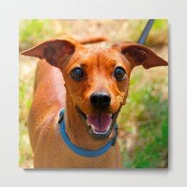 Pinscher Smiling Blue Collar Dog Metal Print