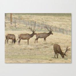 Elk geasing Canvas Print