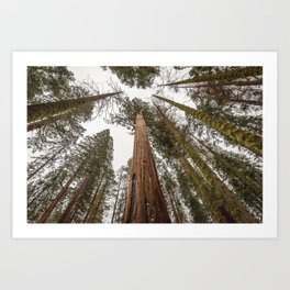 Sequoia Stretch - Nature Photography Art Print