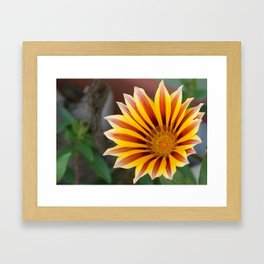 Close Up Tiger Gazania in Red, Gold and Green  Framed Art Print