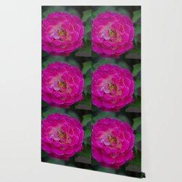 Pink Camellia Wallpaper