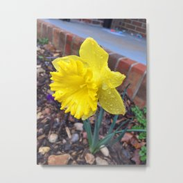 Drops on the Daffodils Metal Print