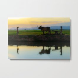 Cambodia, life on the rice field with loyalty cow in Cambodia Metal Print