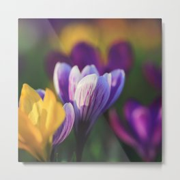 Beautiful Crocuses in Spring Metal Print