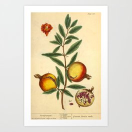"""Pomegranate by Elizabeth Blackwell from """"A Curious Herbal,"""" 1737 (benefiting The Nature Conservancy) Art Print"""