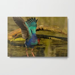 Swamphen (Purple Gallinules) Metal Print