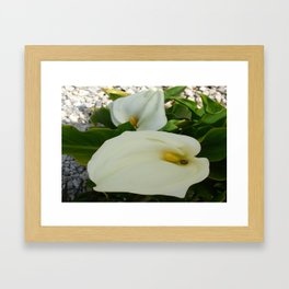 Overhead View Of Two Calla Lilies In A Garden Framed Art Print