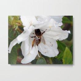 Azalea buzz Metal Print