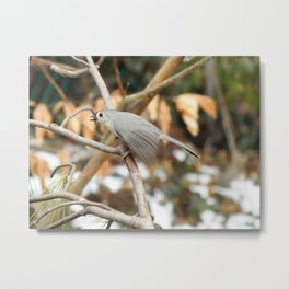 Nuthatch first snow Metal Print