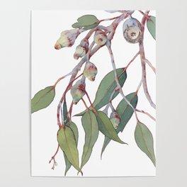 Australian eucalyptus tree branch Poster