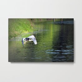 Great Blue Heron in flight, Trojan pond, near Goble, Oregon 3 Metal Print