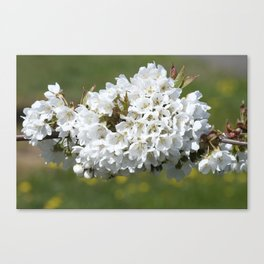 the smell of spring -4- Canvas Print