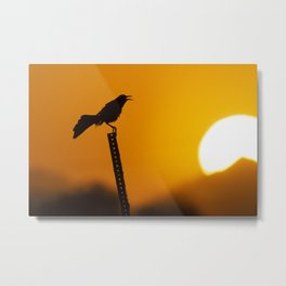 Great-tailed Grackle at Sunrise in Arizona Metal Print