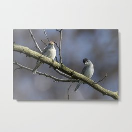 pair of blackcaps, male and female on tree Metal Print