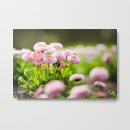 Bellis perennis pomponette called daisy Metal Print