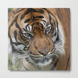Tiger_2015_0619 Metal Print