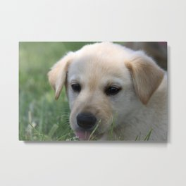 Yellow Lab Metal Print