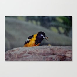 Troupial With Food Canvas Print