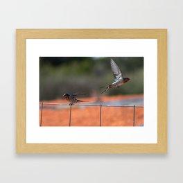 Welcome Swallows - Hirundo neoxena Framed Art Print