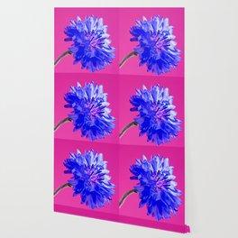 Blue fresh cornflower on the pink background Wallpaper
