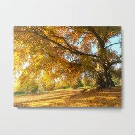 Copper Beech in Autumn Glow Metal Print