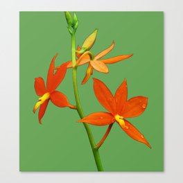 Encyclia Vitellina Canvas Print