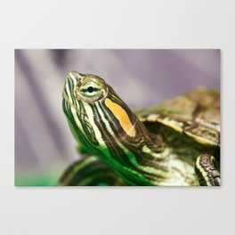 Small red-ear turtle Canvas Print