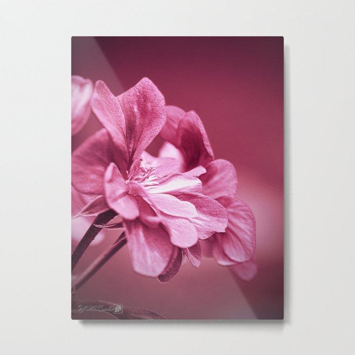 Ivy Geranium named Contessa Purple Bicolor Metal Print