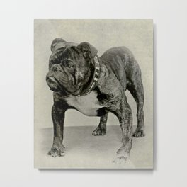 Vintage English Bulldog Photograph Metal Print
