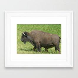 Find the suckling baby buffalo                                             Framed Art Print