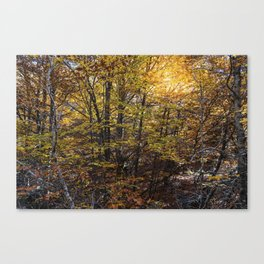 Beech forest in Autumn Canvas Print