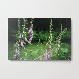 Wild foxgloves (Digitalis purpurea). Norfolk, UK. Metal Print