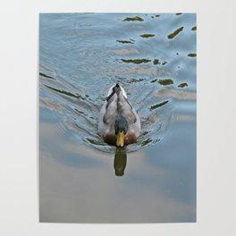 Mallard duck swimming in a turquoise lake 2 Poster