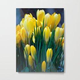 Yellow crocus Metal Print