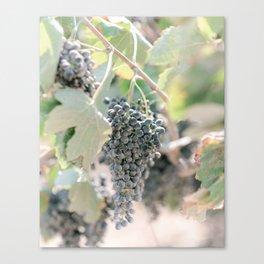 Grapes Wine Farm Crete, Greece   Travel Photography Print Light Colors Canvas Print