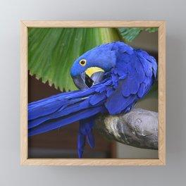 A Hyacinth Macaw Preening Its Feathers Framed Mini Art Print