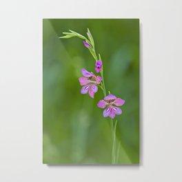 Beauty in nature, wildflower Gladiolus illyricus Metal Print