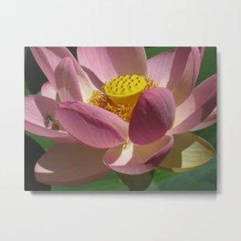 pink lotus flower opening and blooming in Australia Adelaide Botanic Gardens SA South flowers Metal Print