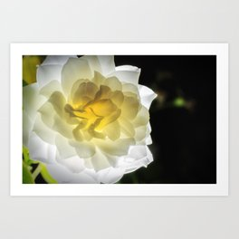 Glowing Rose 2 Nature / Floral / Botanical Photograph Art Print