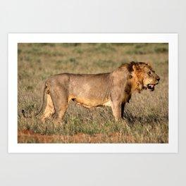 Prawling Lion, Tsavo East, Kenya Art Print