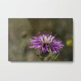 Centaurea alba Metal Print
