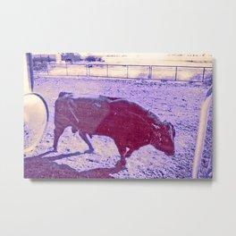 bull in alberta Metal Print