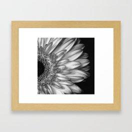 Black And White Print of Gerber Daisy Framed Art Print