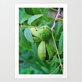 Green Pecan nuts Art Print