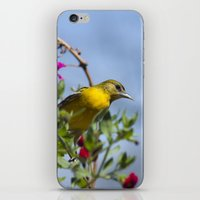 baltimore iPhone & iPod Skins featuring Baltimore Oriole by Christina Rollo