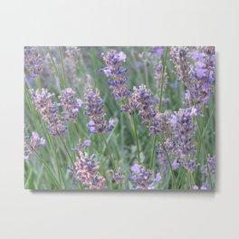 English Lavender Metal Print