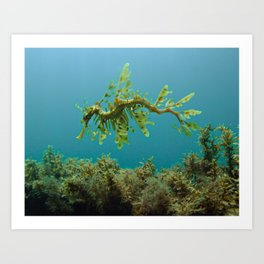 Leafy Sea Dragon Phycodurus eques Art Print