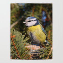Blue tit resting on a branch conifer Poster