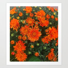 Orange Fall Mums Art Print